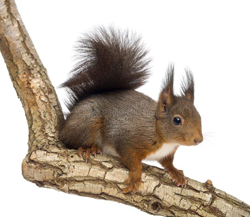 Scoiattolo rosso o scoiattolo rosso euroasiatico, Sciurus vulgaris, condizione fotografia stock libera da diritti