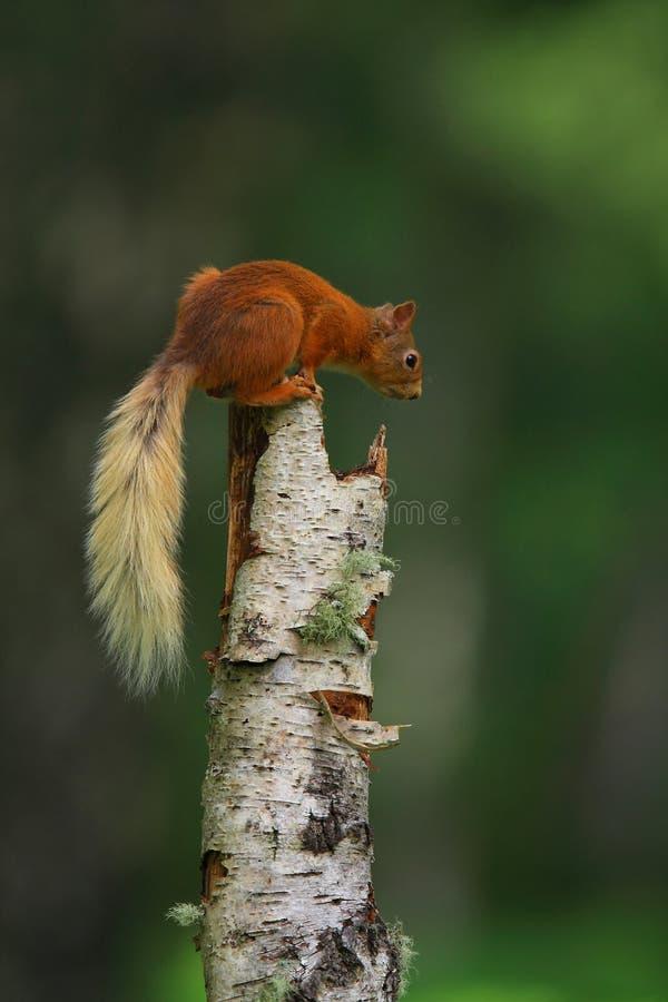 Scoiattolo rosso su un albero immagini stock