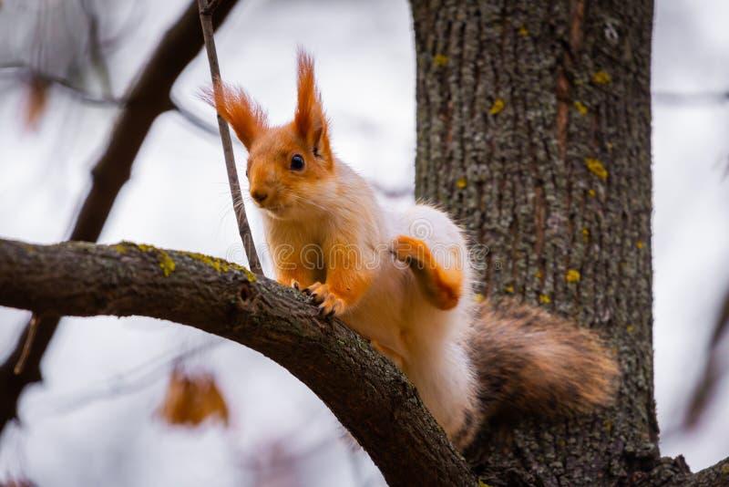 Scoiattolo rosso sul ramo dell'albero in una foresta immagini stock libere da diritti
