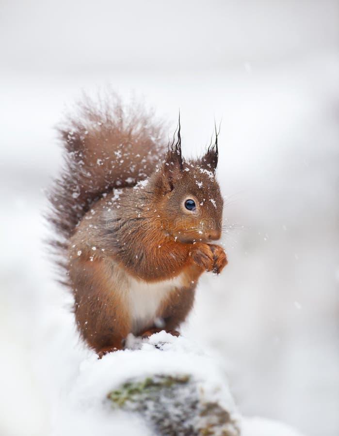 Scoiattolo rosso sveglio che si siede nell'innevato con i fiocchi di neve fotografie stock