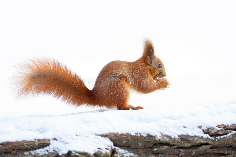 Scoiattolo rosso sveglio che tiene un dado sulla neve immagini stock libere da diritti