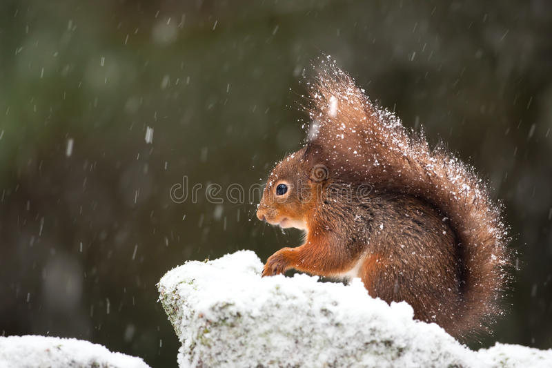 Scoiattolo rosso sveglio nella neve di caduta, inverno fotografie stock