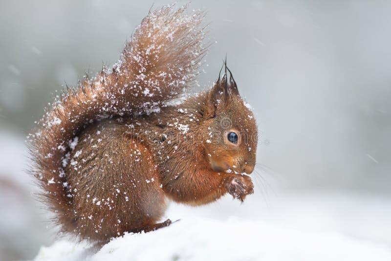 Scoiattolo rosso sveglio nella neve di caduta nell'inverno fotografie stock libere da diritti