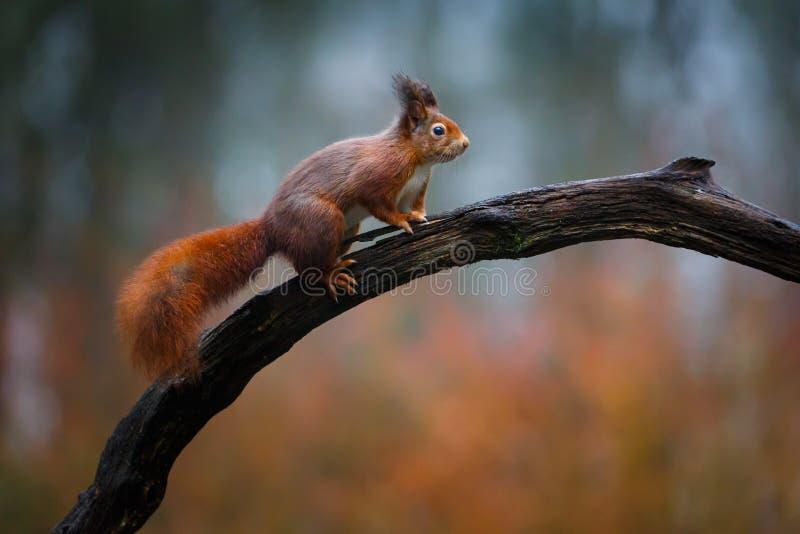 Scoiattolo rosso in una foresta fotografia stock