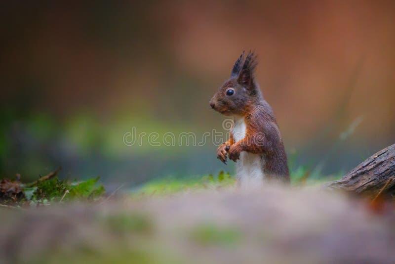 Scoiattolo rosso in una foresta fotografie stock