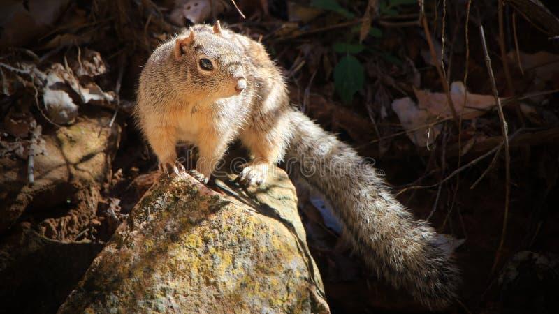 Scoiattolo selvaggio - Zion National Park, U.S.A. immagine stock libera da diritti