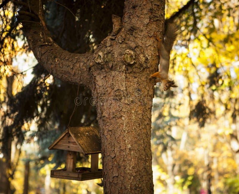 Scoiattolo su un albero Autunno immagini stock libere da diritti