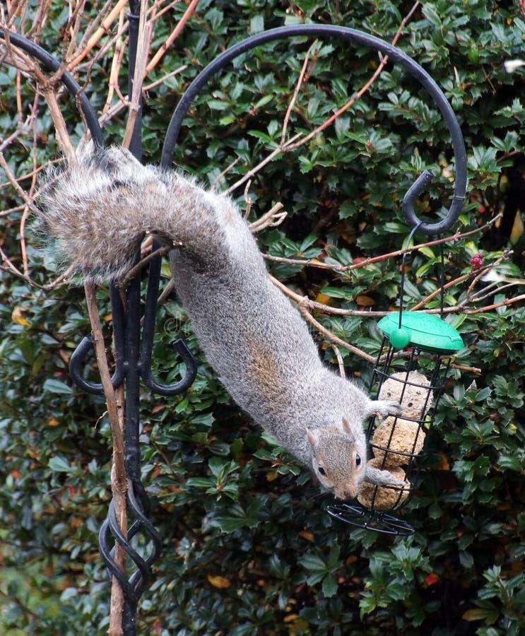 Scoiattolo su un alimentatore dell'uccello fotografia stock libera da diritti