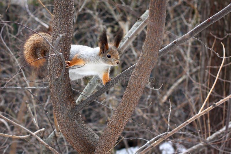 Scoiattolo su una foresta dell'albero in primavera fotografie stock