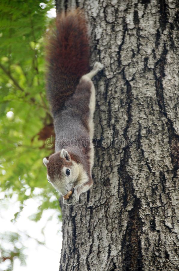 Scoiattolo sveglio del primo piano il piccolo indica sul ramo di albero e gode di di mangiare la nocciola con con fondo vago immagine stock