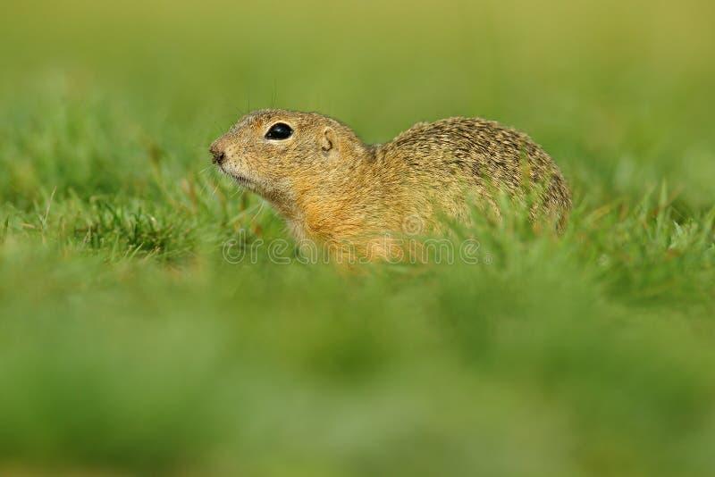 Scoiattolo a terra europeo, citellus dello Spermophilus, sedentesi nell'erba verde durante l'estate, ceca fotografie stock