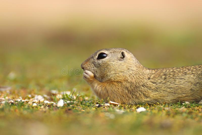 Scoiattolo a terra europeo, citellus dello Spermophilus, sedentesi nell'erba verde durante la molla fotografie stock libere da diritti