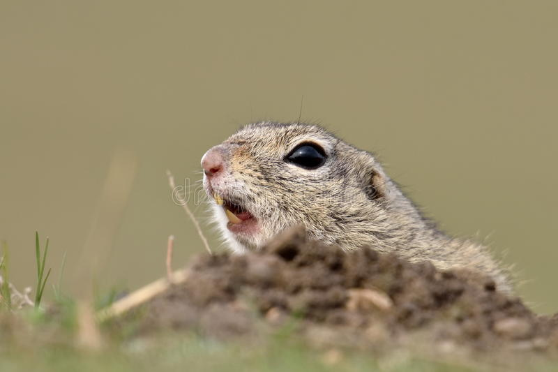 Scoiattolo a terra europeo sul campo (citellus dello Spermophilus) immagini stock