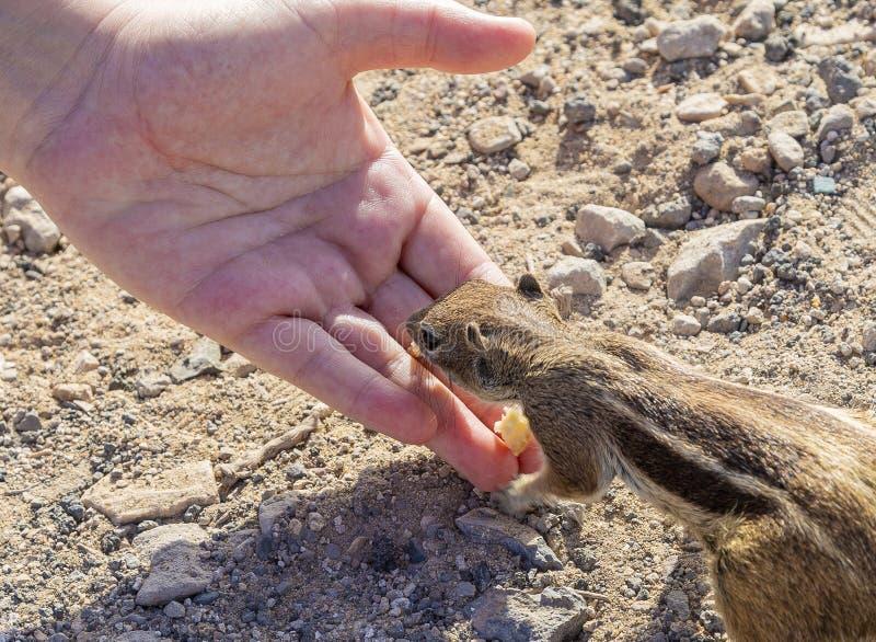 Scoiattolo a terra Fuerteventura fotografie stock libere da diritti