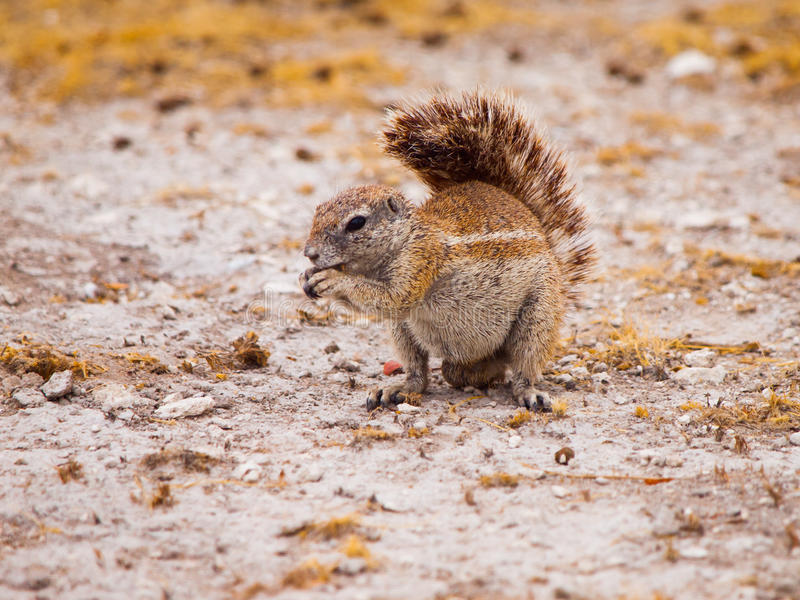 Scoiattolo a terra, inauris di Xerus, seduta e cibo sudafricani, parco nazionale di Etosha, Namibia fotografia stock libera da diritti