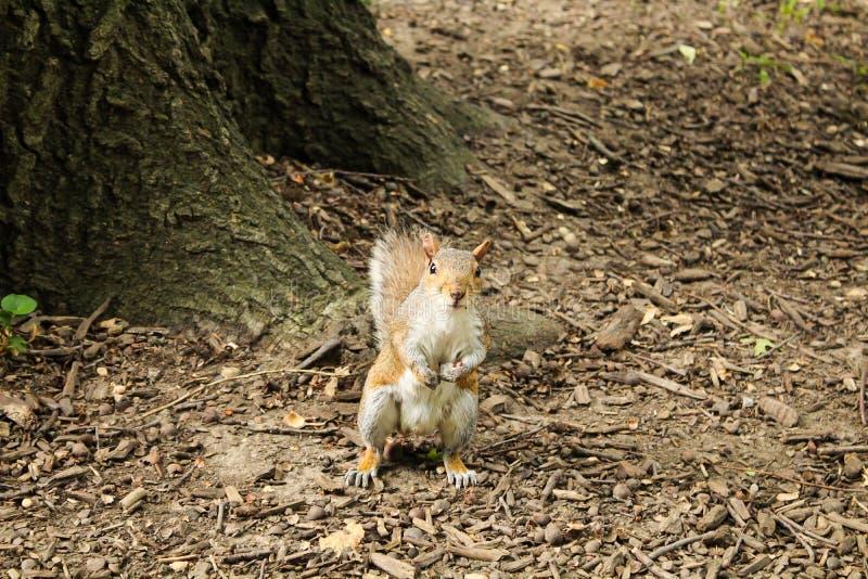 Scoiattolo in un parco che foraggia per l'alimento fotografie stock libere da diritti
