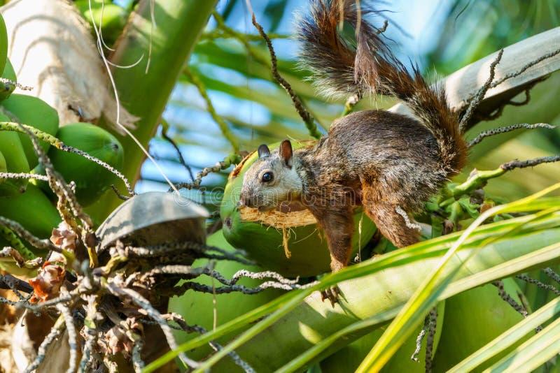 Scoiattolo variegato ( Sciurus variegatoides) in Costa Rica fotografia stock