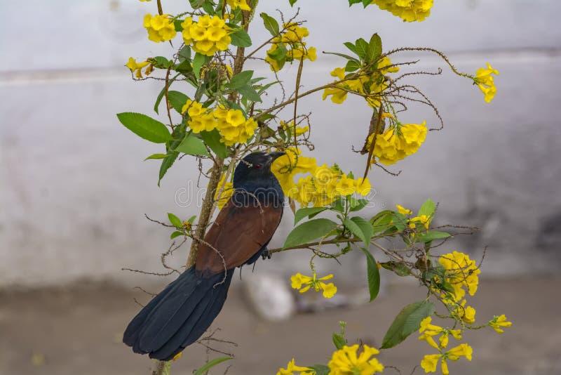 Scolopaceus Eudynamys ασιατικού Koel στοκ εικόνες
