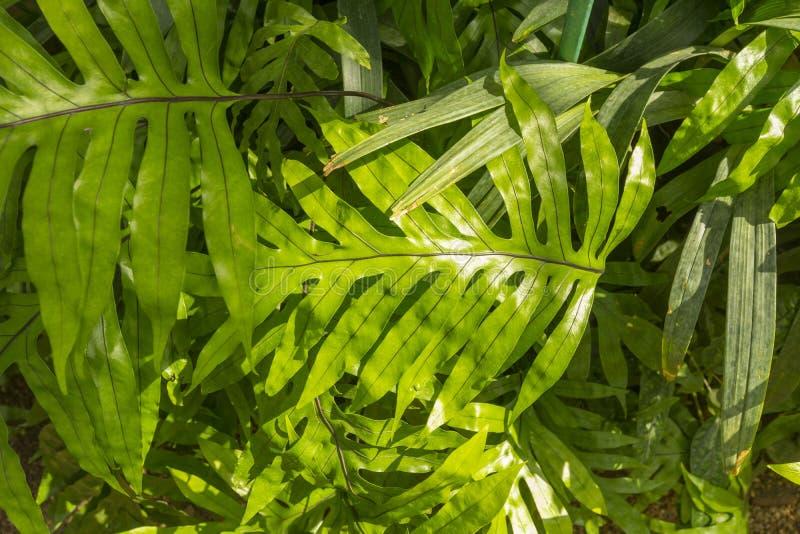 Scolopendria Copel Microsorum Папоротник стоковая фотография rf