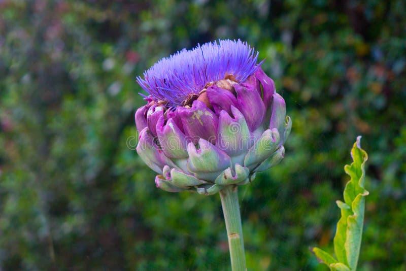 Scolymus Cynara цветка артишока глобуса горизонтальный стоковое фото rf