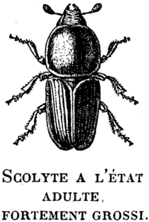 Scolyte-oa Free Public Domain Cc0 Image