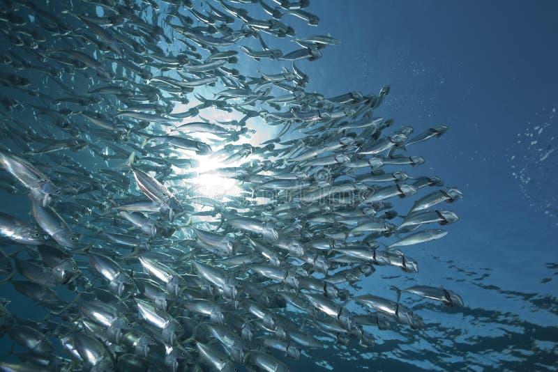 Scombro ed oceano a strisce immagini stock libere da diritti