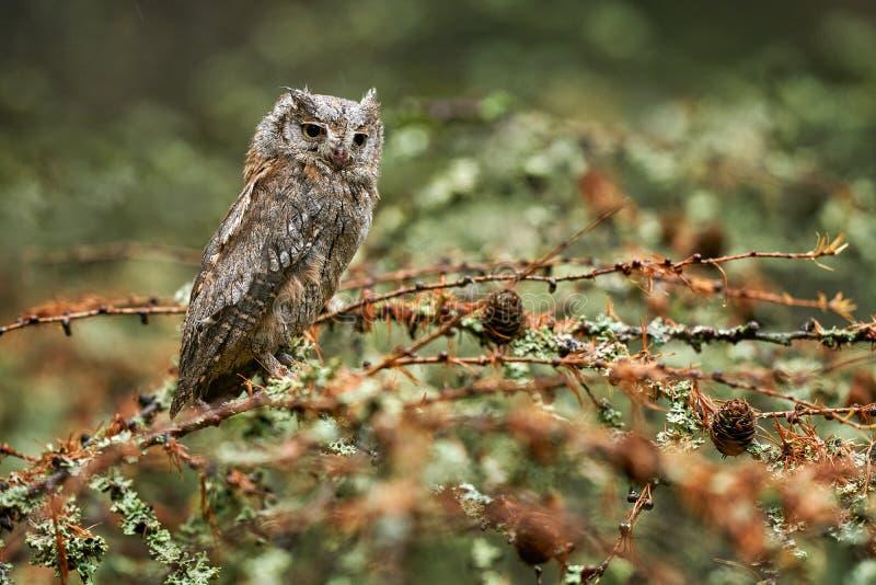 Scop Owl, Otus scops, zittend op boomvertakking in het donkere bos Wilde dieren uit de natuur Kleine vogel, uil close-up stock afbeeldingen