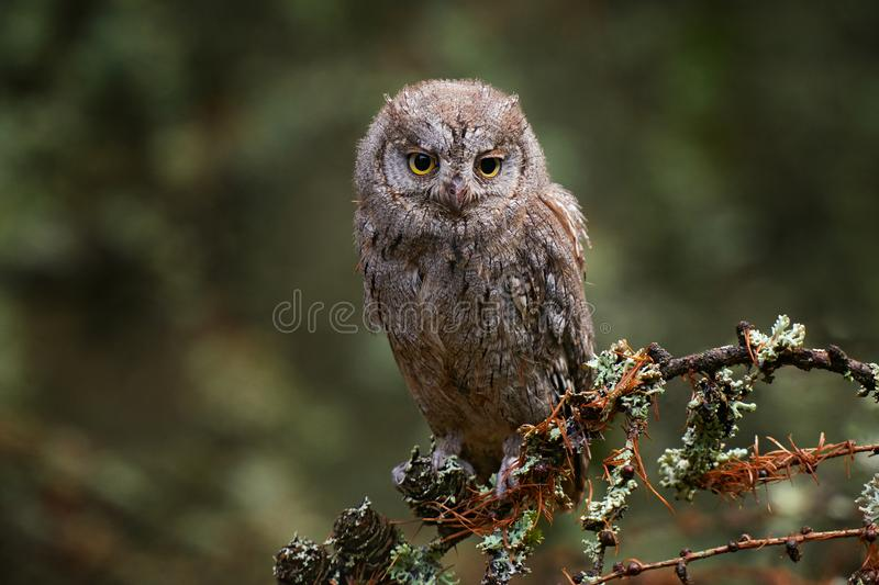 Scop Owl, polícias de Otus, sentados em galho de árvores na floresta escura Cena de animais selvagens da natureza Pequeno pássaro imagens de stock
