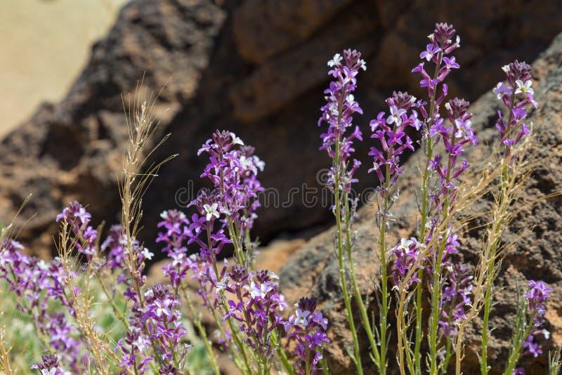 Scoparium de florescência do Erysimum do goivo de Teide, endêmico, florescendo na rocha da lava Parque nacional Teide, Tenerife,  imagem de stock royalty free