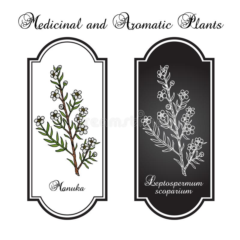 Scoparium de Manuka Leptospermum, plante médicinale illustration libre de droits