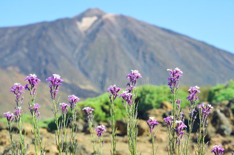 Scoparium del Erysimum contra el peack de Teide foto de archivo libre de regalías