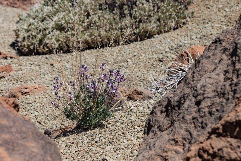 Scoparium floreciente del Erysimum del alhelí de Teide, endémico, floreciendo en roca de la lava Parque nacional Teide, Tenerife, fotografía de archivo