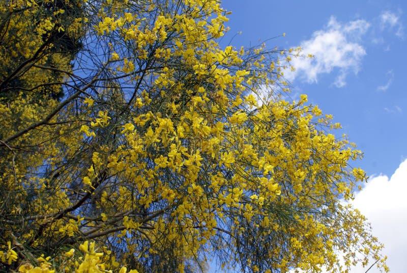 Scoparius Cytisus Общий веник broom шотландский shrub стоковое изображение