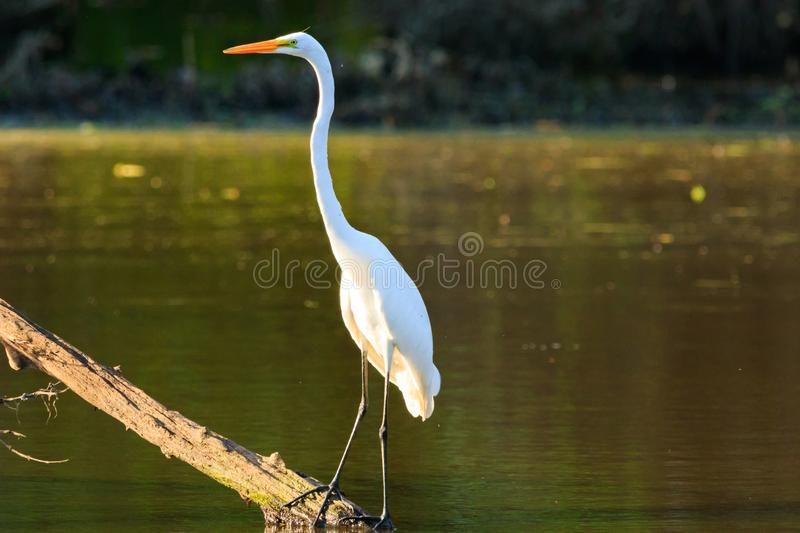 Scoping. A White Heron sitting on a branch looking for food in the flood waters of Bald Knob Wildlife Refuge located in Bald Knob, Arkansas 2017 royalty free stock images