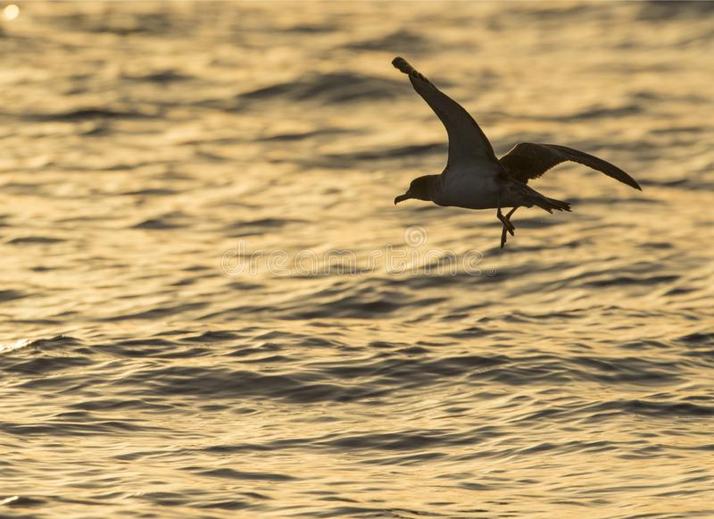 Scopoli's shearwaters Calonectris diomedea. At sunset in flight opposite its beeding colony at ta` Cenc cliffs,Gozo, malta, Mediterranean stock photos
