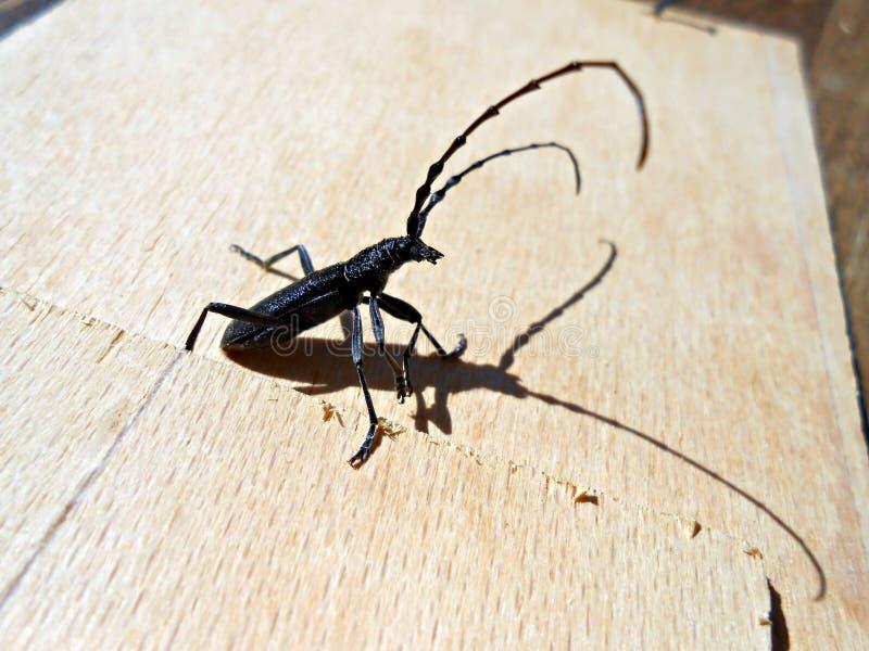 Scopolii di Cerambyx degli scarabei della mucca texana fotografia stock
