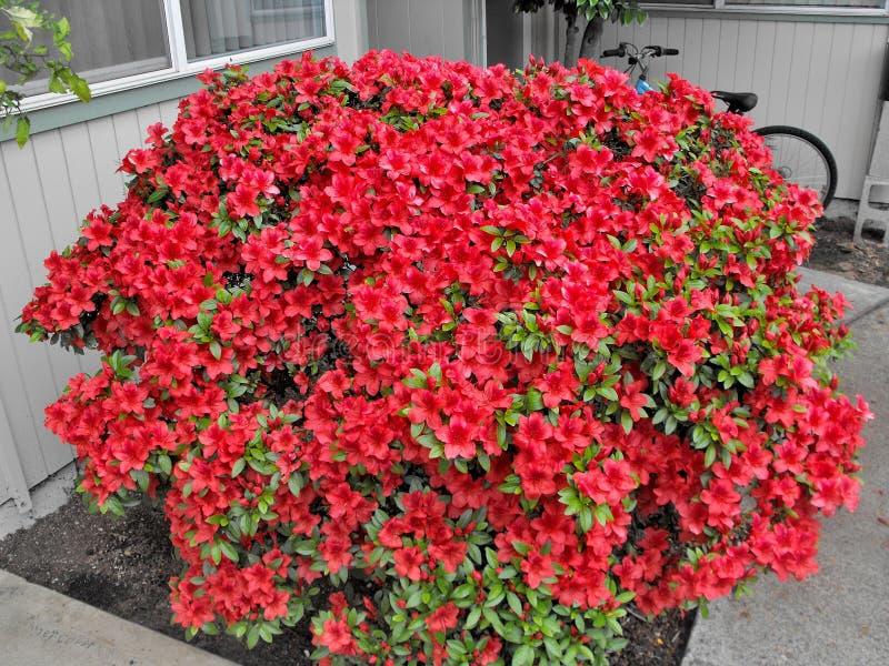 Scoppio dei fiori rossi fotografie stock