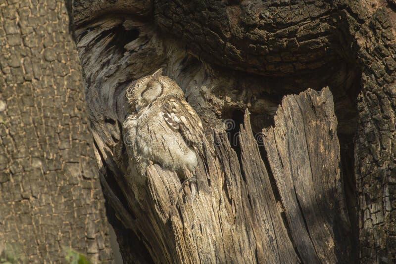 Scops agarrado camuflado Owl Profile imagen de archivo