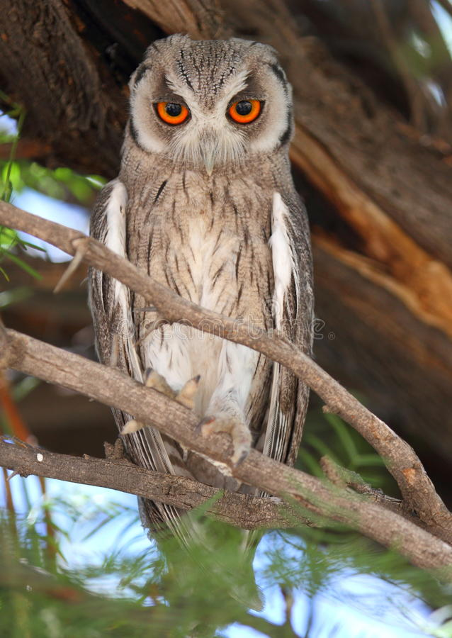 Scops-hibou photographie stock
