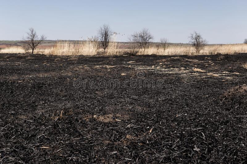 Scorched reed field. Consequences of careless handling of fire royalty free stock images