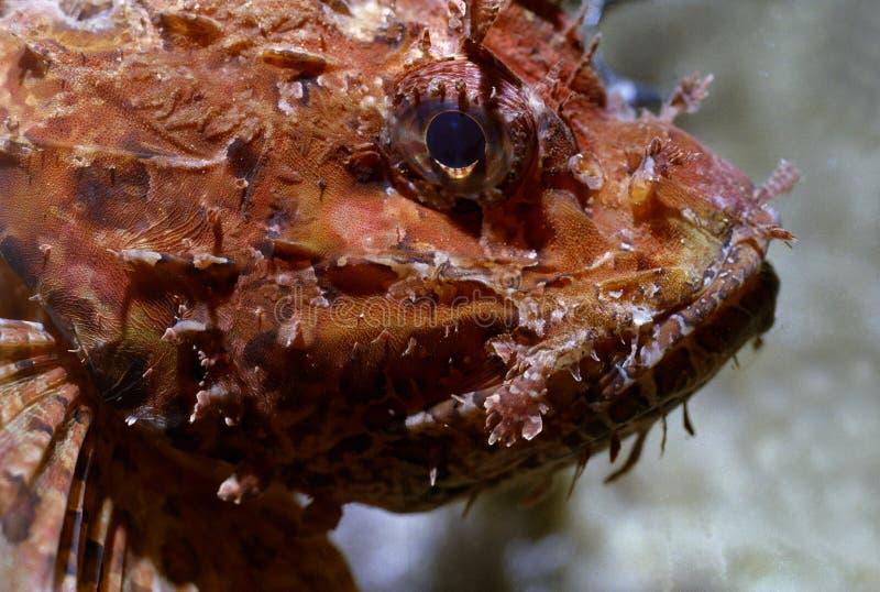 Scorpaena Scrofa stock afbeeldingen