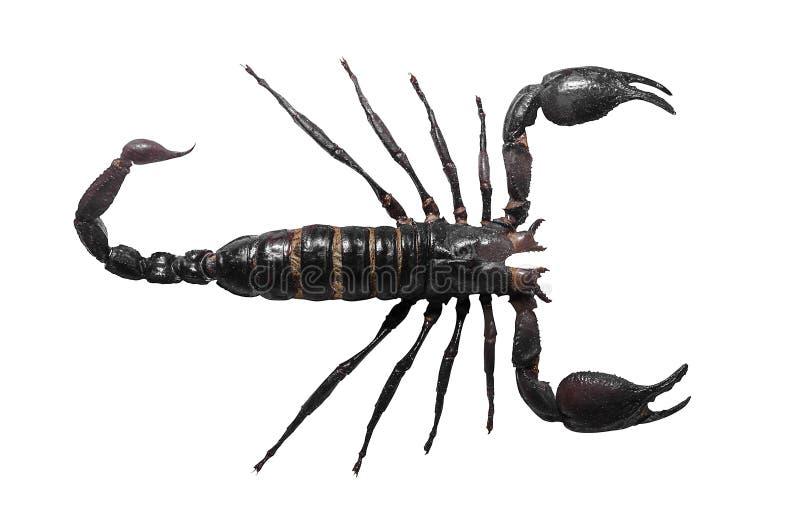 Scorpio. Poisonous n isolated on white background stock photo