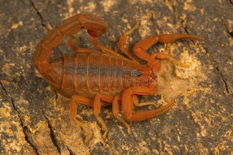 Scorpion à queue adipeuse, rugiscutis de Hottentotta de type localité, Chengalpettu images stock