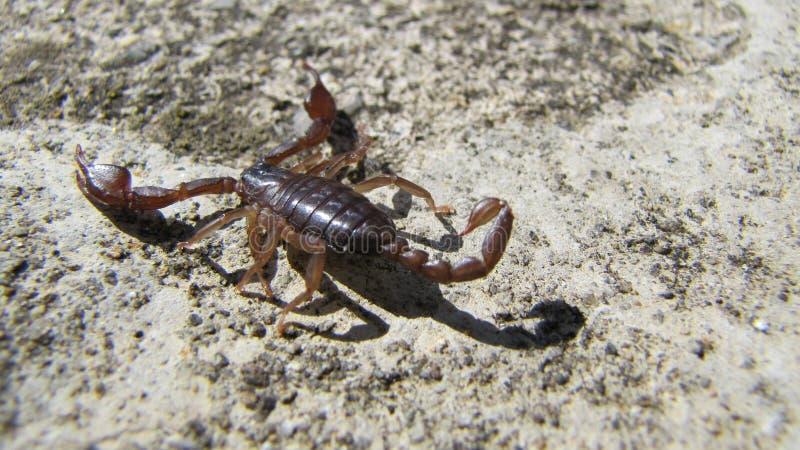 scorpion fotos de archivo