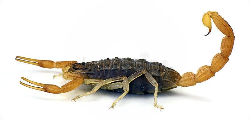 scorpion royaltyfria foton