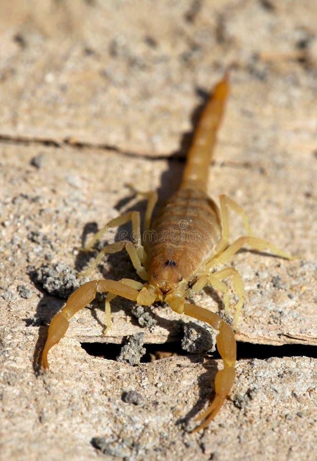 scorpion royaltyfri bild