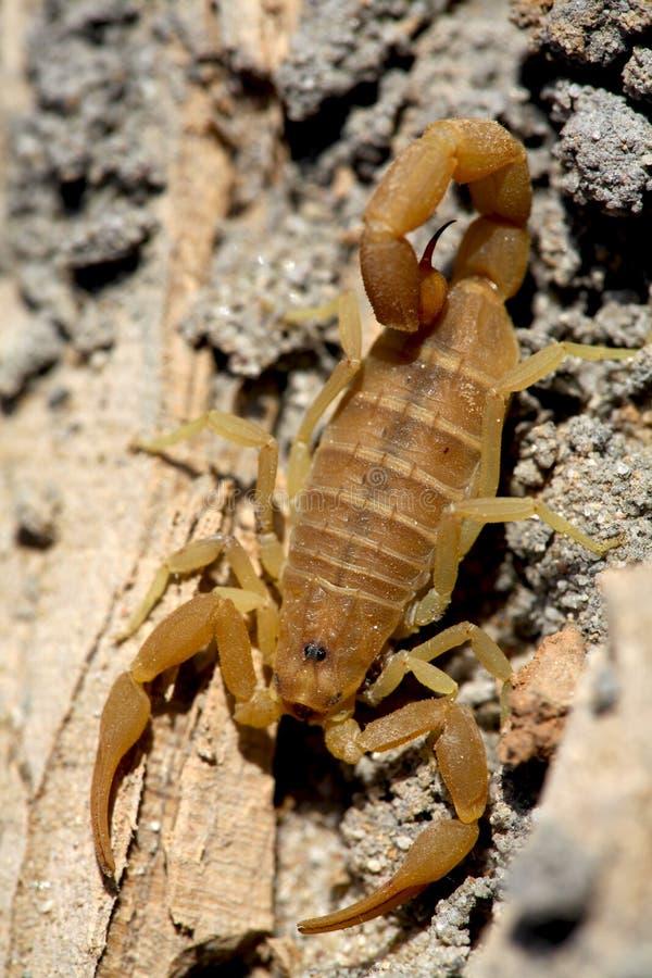 scorpion arkivbilder