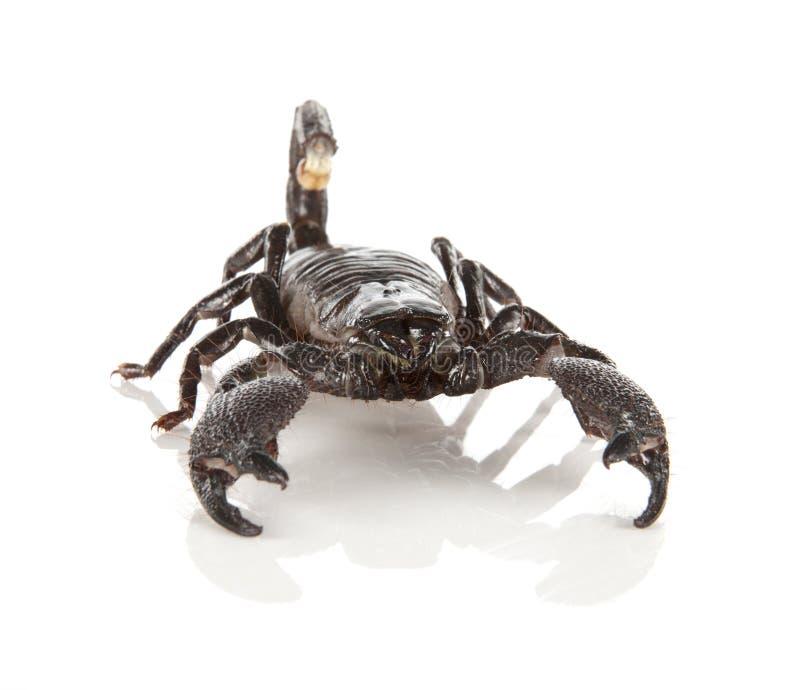 Download Scorpion Royalty Free Stock Image - Image: 24134416