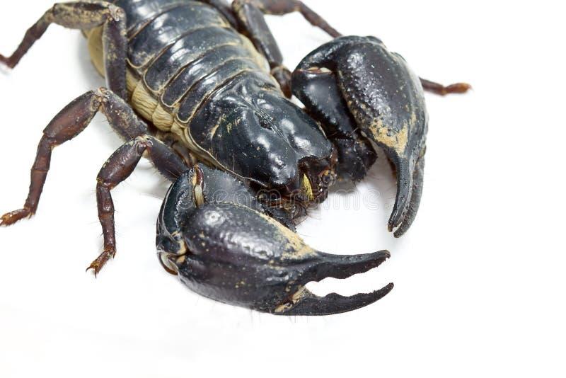 Download Scorpion Royalty Free Stock Photo - Image: 25668395
