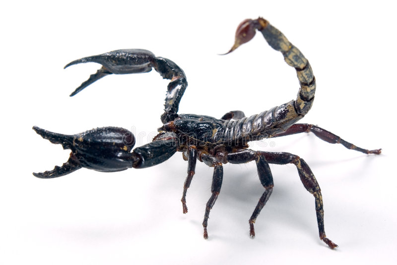 Scorpion photo libre de droits